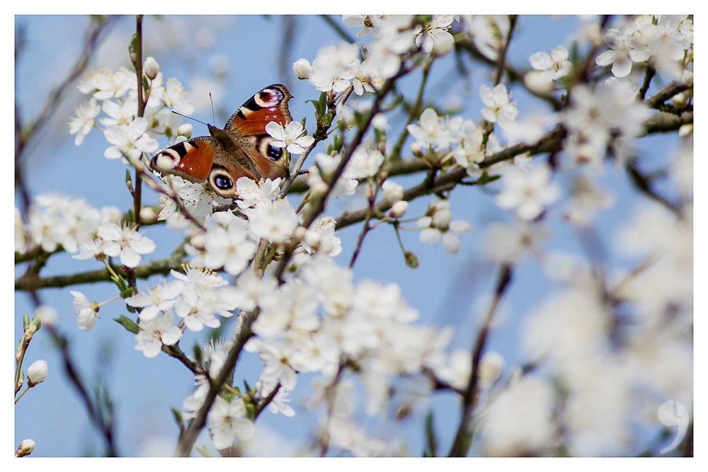 Butterfly in spring I