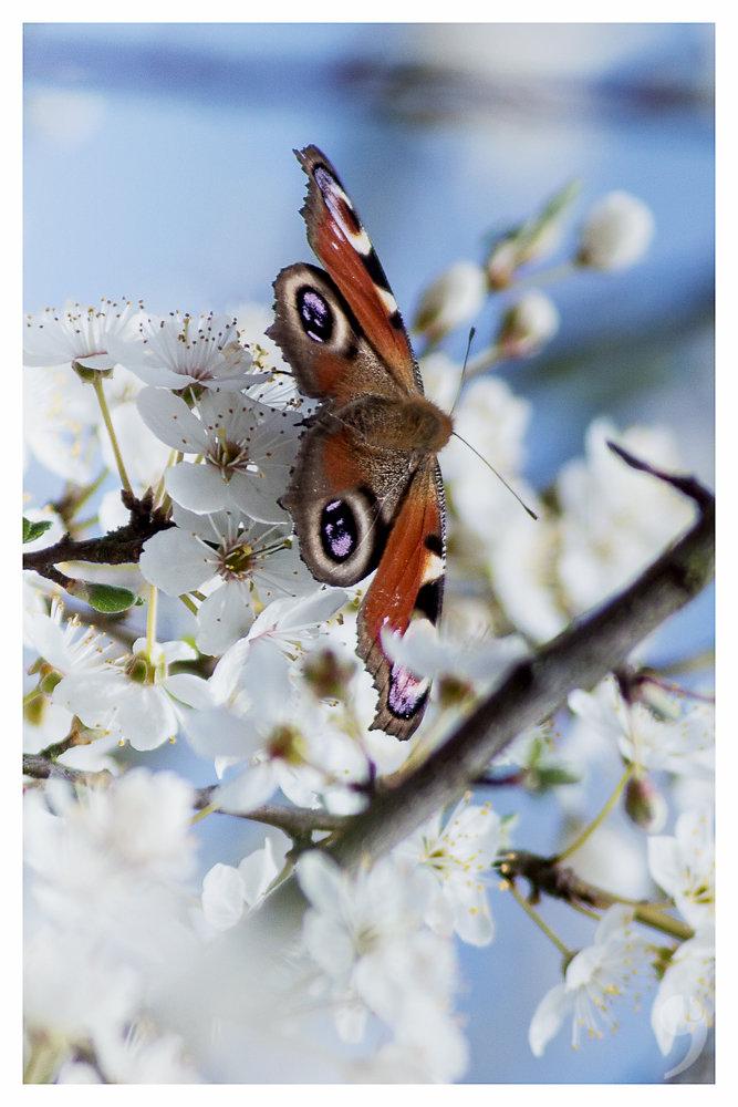 Butterfly in spring II